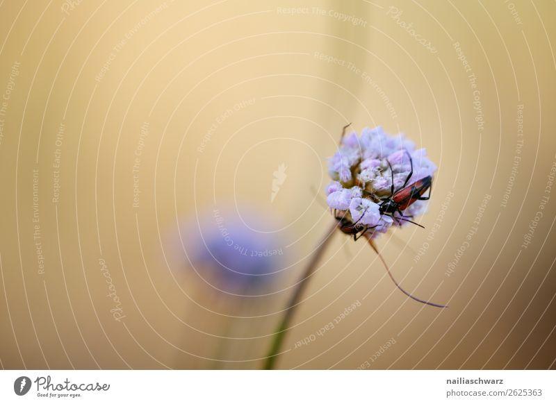 Käfer und Blume Raubwanze lila Natur Pflanze Blüte Farbfoto Nahaufnahme Frühling schön violett Außenaufnahme Garten Makroaufnahme grün Umwelt Umweltschutz