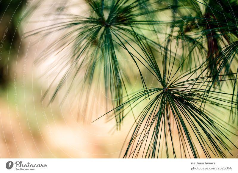 Kiefernnadeln in Sommer Baum Pflanze Nadelbaum nadelholz Natur Außenaufnahme grün Umwelt Wald Tag Menschenleer Farbfoto Zweig Unschärfe natürlich Ast
