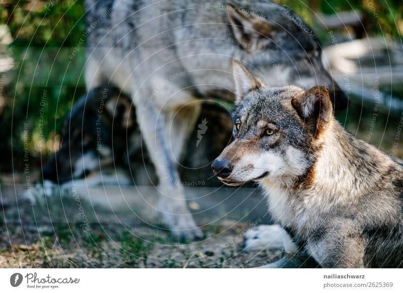 Wolf Natur schön grün Erholung Tier Umwelt Traurigkeit Zusammensein grau träumen Wildtier Kraft Tiergruppe beobachten bedrohlich Neugier
