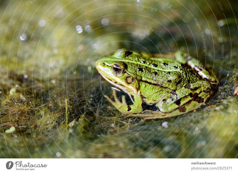Frosch Tier Garten Moor Sumpf Teich See Wildtier Wasserfrosch 1 beobachten hocken Jagd liegen Blick warten nass natürlich schleimig wild Tierliebe Neugier