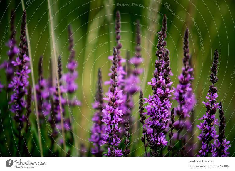 Salvia Blume Umwelt Natur Pflanze Blüte Nutzpflanze Wildpflanze Salbei Lila Blume Lavendel Garten Park Wiese Feld Duft Wachstum einfach natürlich schön