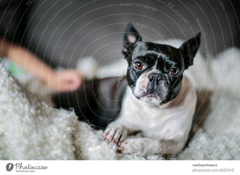 Boston Terrier Lifestyle elegant Stil schön Tier Hund boston terrier französische Bulldogge Decke beobachten Erholung liegen Blick schlafen lustig natürlich