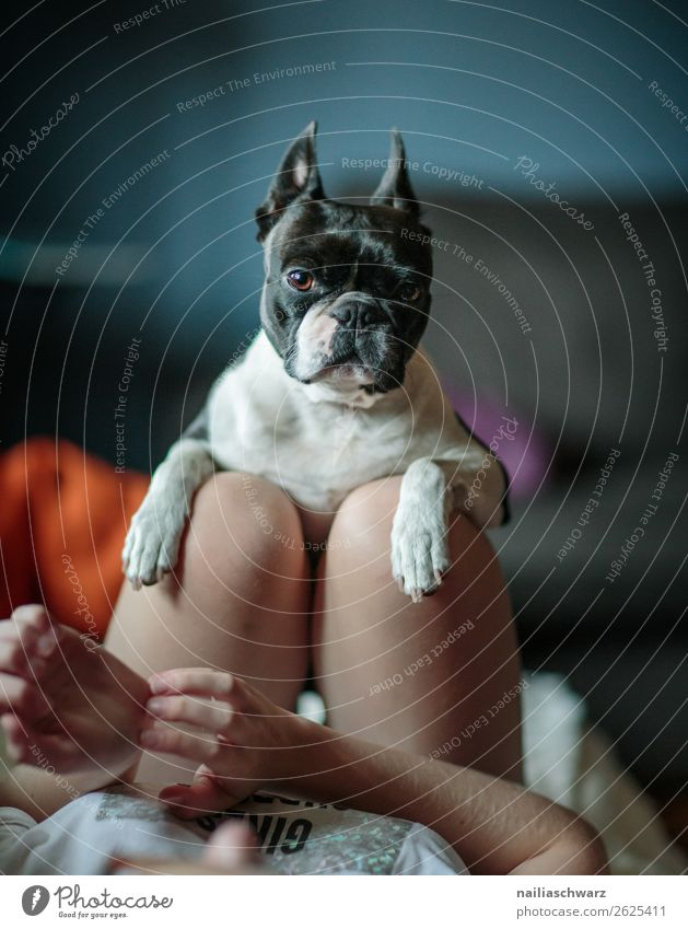 Freundinnen Mensch feminin Mädchen Körper Beine 1 Tier Hund Tiergesicht Boston Terrier französische Bulldogge festhalten Kommunizieren Blick Umarmen lustig