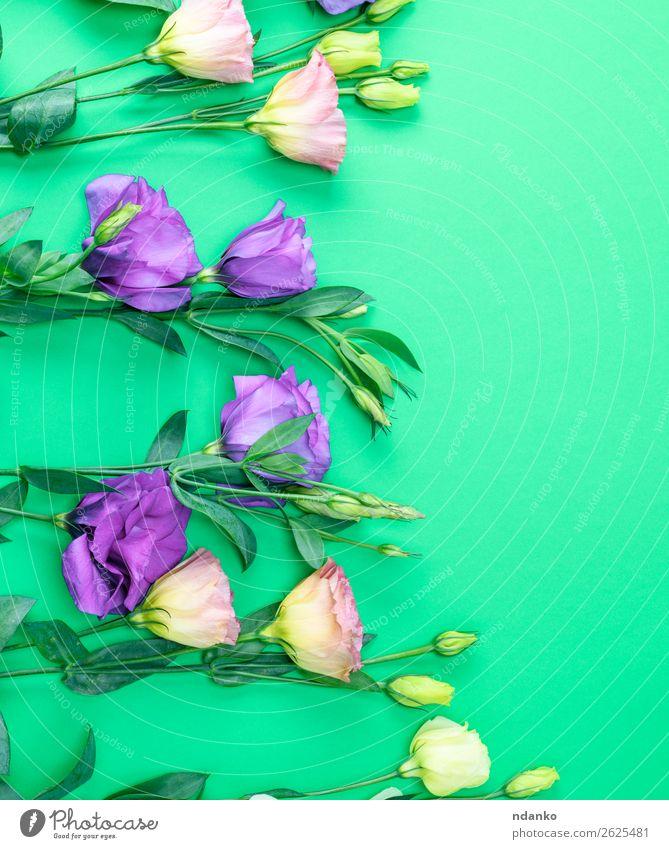 frische blühende Blumen Eustoma Lisianthus schön Sommer Feste & Feiern Natur Pflanze Blatt Blüte Blühend natürlich grün violett Frühling botanisch Hintergrund