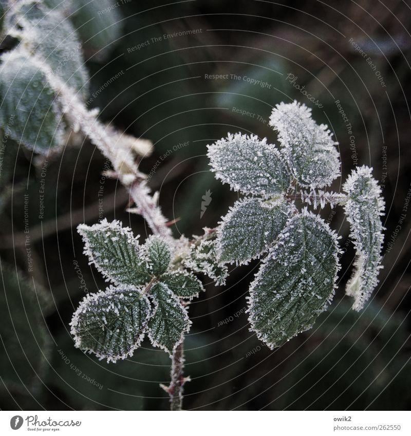 Flor Umwelt Natur Landschaft Pflanze Winter Klima Wetter Schönes Wetter Eis Frost Blatt Brombeerbusch frieren warten frisch kalt klein nah natürlich geduldig