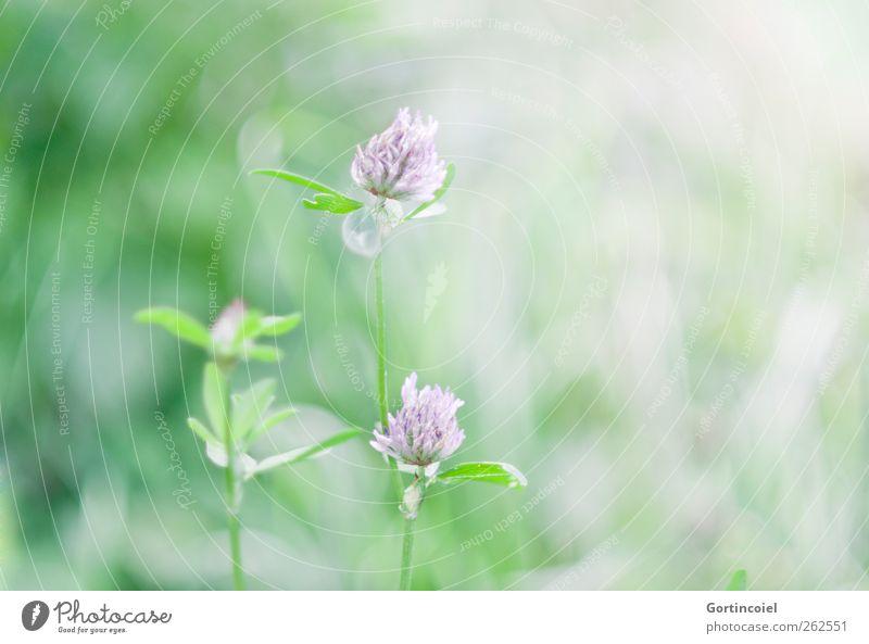 Kleeblüte Umwelt Natur Pflanze Frühling Sommer Schönes Wetter Blume Blatt Blüte Garten schön grün violett Frühlingsgefühle Frühlingsblume zart weich sanft