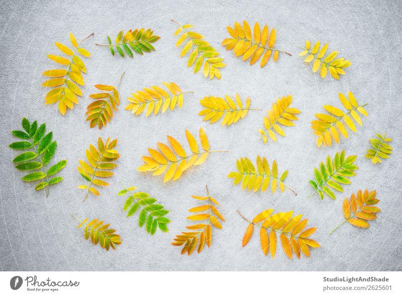 Goldene Aschebaumblätter auf Betonuntergrund Design schön Freizeit & Hobby Garten Gartenarbeit Landwirtschaft Forstwirtschaft Kunst Natur Pflanze Herbst Baum