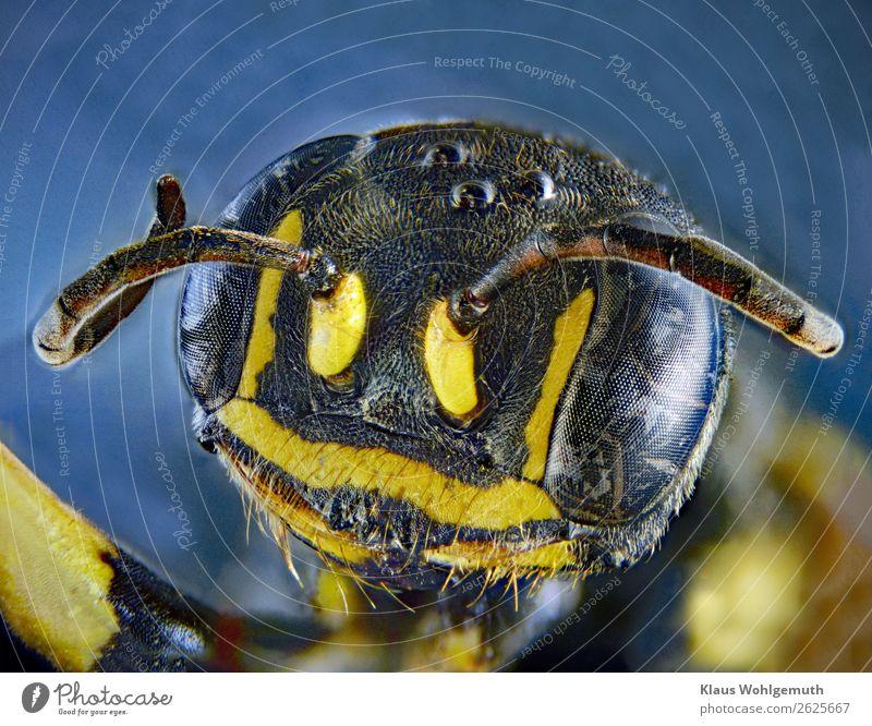 Nicht nur der Pfau hat 1000 Augen... Umwelt Natur Tier Sommer Herbst Wildtier Totes Tier Tiergesicht Wespen exotisch Glück blau gelb schwarz silber Fühler