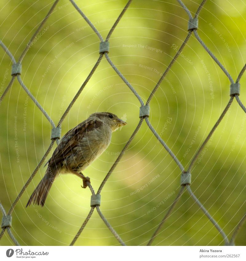 Zaungast Natur grün Tier braun Vogel sitzen Wildtier beobachten Neugier entdecken silber