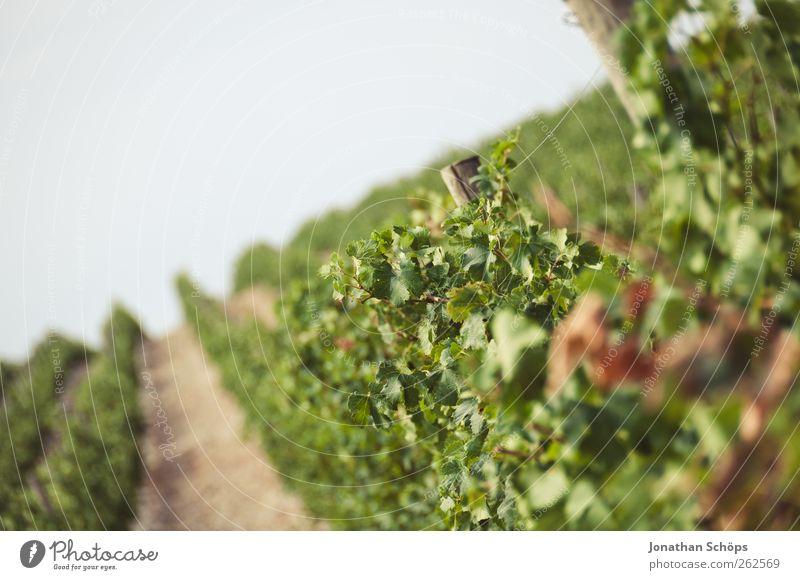 Der Weinberg XII Umwelt Natur Landschaft Pflanze Schönes Wetter grün Weinlese Weinbau Blatt Landwirtschaft Süden Reihe anbauen Neigung Horizont