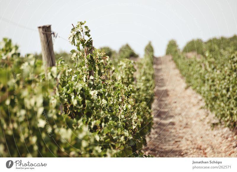 Der Weinberg XIV Natur grün Pflanze Umwelt Landschaft Wärme Horizont braun Frucht Klima Wein Schönes Wetter Landwirtschaft genießen Reihe Frankreich