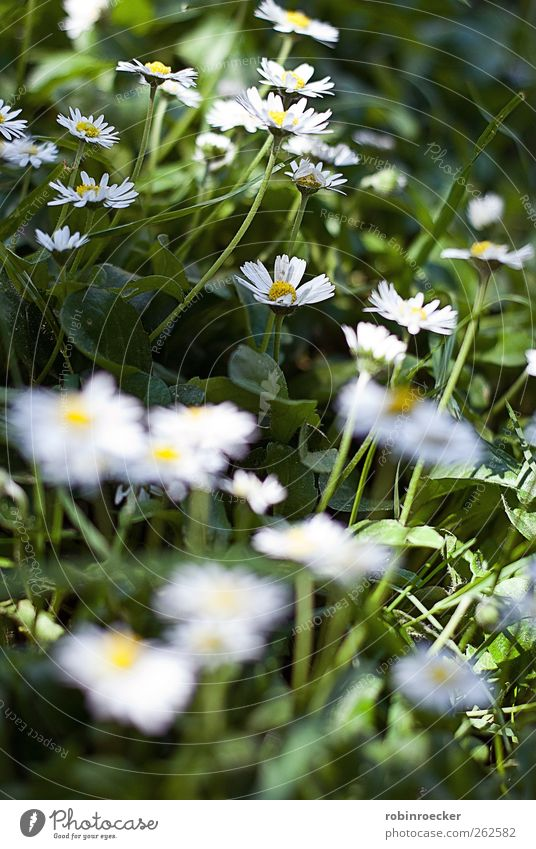 Gänseblümchen Umwelt Natur Tier Sonnenlicht Frühling Sommer Schönes Wetter Pflanze Blume Gras Blatt Grünpflanze Garten Heidelberg Deutschland Europa Stadt