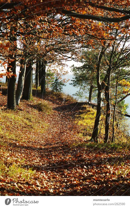Goldene Stimmung.. Umwelt Natur Landschaft Sonne Sonnenlicht Herbst Wetter Schönes Wetter Baum Blatt Wildpflanze Wald Fußweg Duft natürlich Originalität positiv