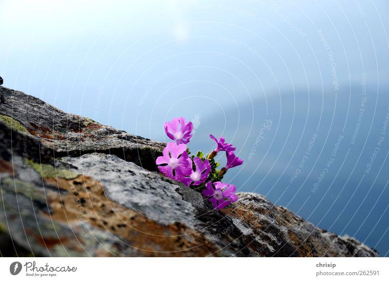 lila Alpenblümchen Umwelt Natur Landschaft Pflanze Himmel Schönes Wetter Blume Blüte Wildpflanze Felsen Duft blau braun grau violett Freiheit Idylle
