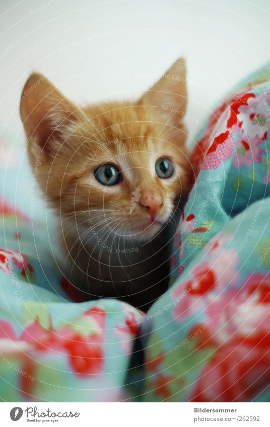 Tilda Katze blau rot Tier Auge Spielen Tierjunges rosa Hilfsbereitschaft Neugier Bettwäsche Haustier Tierliebe Katzenbaby Opferbereitschaft