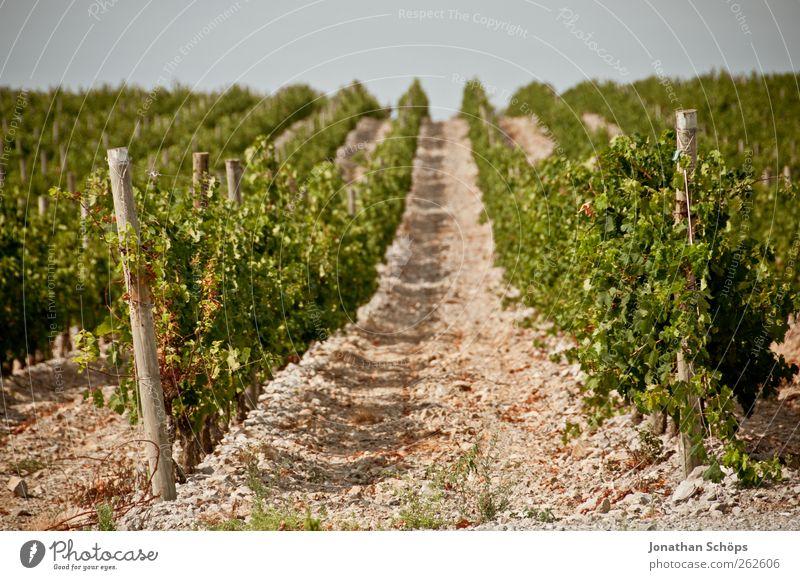 Der Weinberg XV Umwelt Natur Landschaft Pflanze Schönes Wetter braun grün Weinlese Reihe Wege & Pfade Mitte Landwirtschaft Ordnung Holzpfahl Produktion
