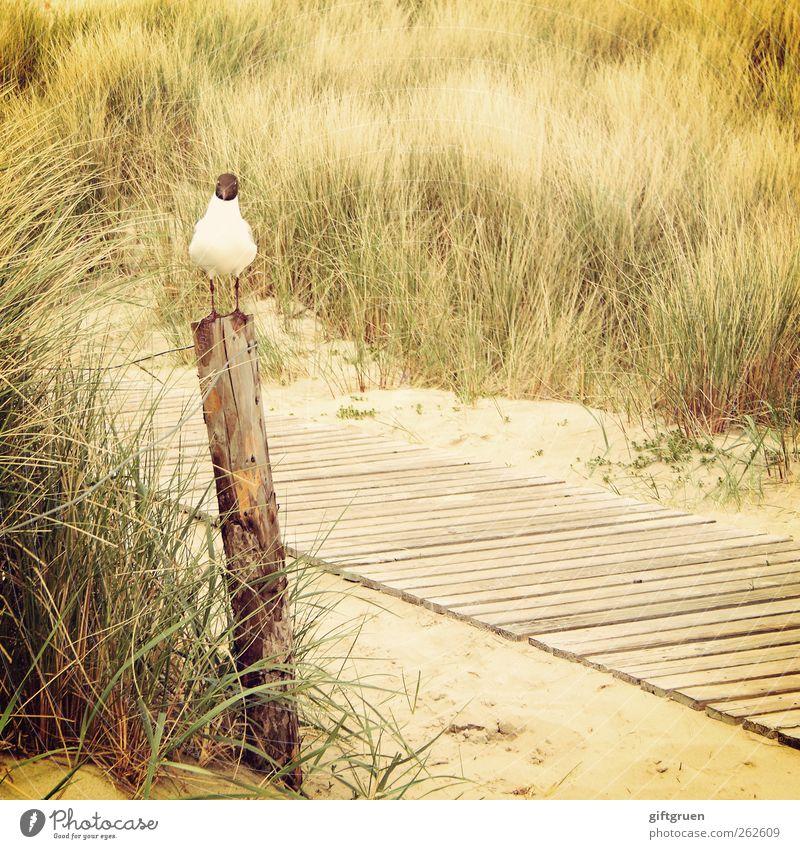 auf bessere zeiten warten Umwelt Natur Landschaft Pflanze Urelemente Sand Gras Sträucher Küste Strand Nordsee Meer Tier Vogel 1 sitzen geduldig Lachmöwe Möwe