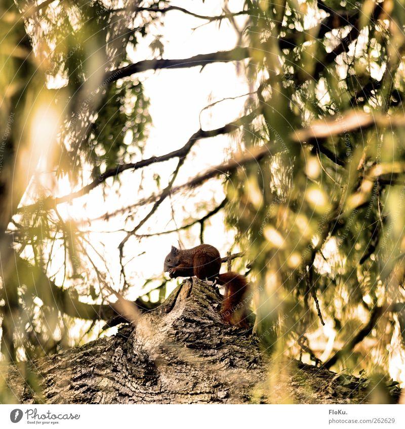 Om nom nom Umwelt Natur Pflanze Tier Herbst Baum Blatt Wildtier 1 Fressen sitzen frei niedlich wild braun gelb grün Eichhörnchen Nagetiere verstecken Ast