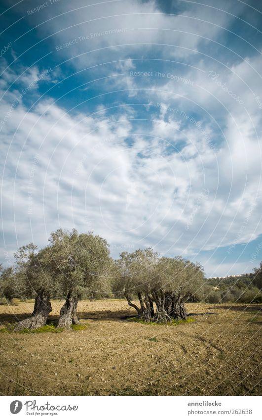 Echter Ölbaum Himmel Natur alt Ferien & Urlaub & Reisen Baum Pflanze Sommer Tier Wolken Umwelt Landschaft Feld Klima Tourismus Wachstum Ausflug
