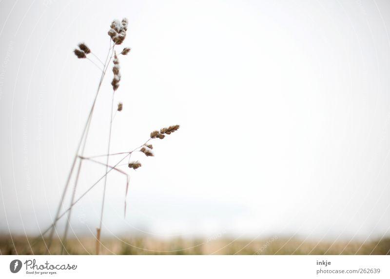 Gräser Umwelt Natur Landschaft Pflanze Luft Himmel Sommer Herbst Winter Gras Wildpflanze Samenpflanze Wiese Feld Stadtrand Menschenleer dünn einfach lang trist