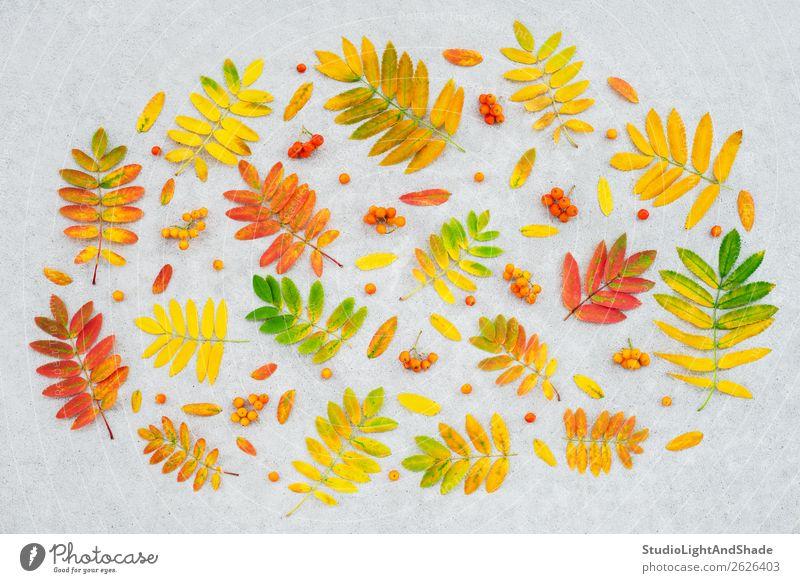 Bunte Aschebaumblätter und -früchte Frucht Design schön Freizeit & Hobby Garten Gartenarbeit Landwirtschaft Forstwirtschaft Kunst Kunstwerk Natur Pflanze Herbst