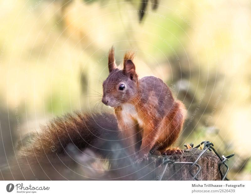 Eichhörnchen im Sonnenschein Natur Tier Sonnenlicht Schönes Wetter Wildtier Tiergesicht Fell Krallen Pfote Schwanz Auge 1 Zaunpfahl beobachten Erholung glänzend