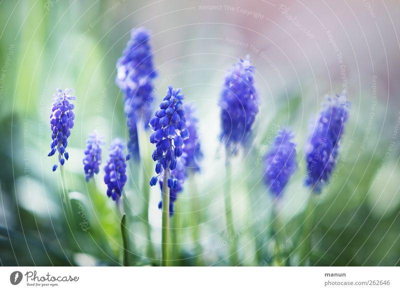 Traubenhyazinthen Natur blau Pflanze Blume Frühling Blüte natürlich Frühlingsgefühle Frühlingsblume Hyazinthe Traubenhyazinthe Frühlingsfarbe