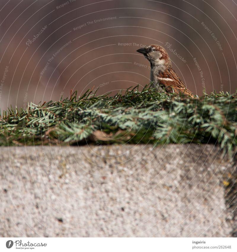 Neugieriger Spatz Natur grün Tier Wand grau Mauer braun Vogel sitzen Wildtier Sicherheit beobachten Schutz Wachsamkeit Tannenzweig
