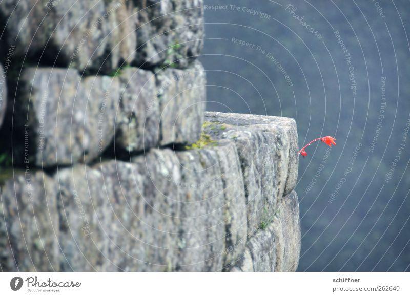 Mauerblümchen Bauwerk Wand Sehenswürdigkeit Wahrzeichen Denkmal Blühend Steinmauer Steinwand Machu Pichu Blume Blüte Blütenstiel rot frei Tiefenschärfe