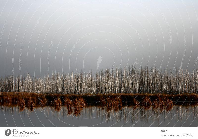 Stammesversammlung Natur Landschaft Wasser Himmel Herbst Winter Pflanze Baum Birke Birkenwald Seeufer dunkel grau Endzeitstimmung Vergänglichkeit Außenaufnahme
