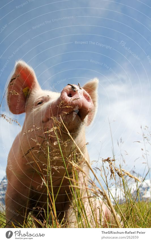 Schwein gehabt Natur Tier Nutztier 1 außergewöhnlich Sau Ohr Schnauze blau Gras Weide grün Wolken Farbfoto mehrfarbig Außenaufnahme Textfreiraum oben Tag
