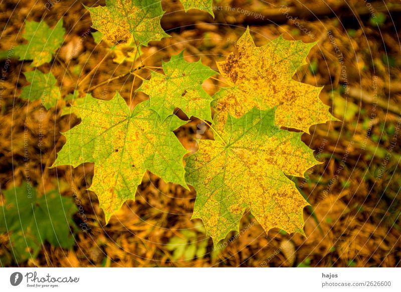Ahornblatt in Herbstfarben Design Natur Baum weich braun mehrfarbig gelb bunt gefärbt herbstlich grün Jahreszeit Farbfoto Außenaufnahme