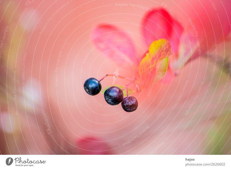 Aronia, reife Beeren am Strauch Frucht Bioprodukte Natur rosa Apfelbeere gesund Vitamin C schwarz Hintergrund pink unscharf Außenaufnahme Makroaufnahme