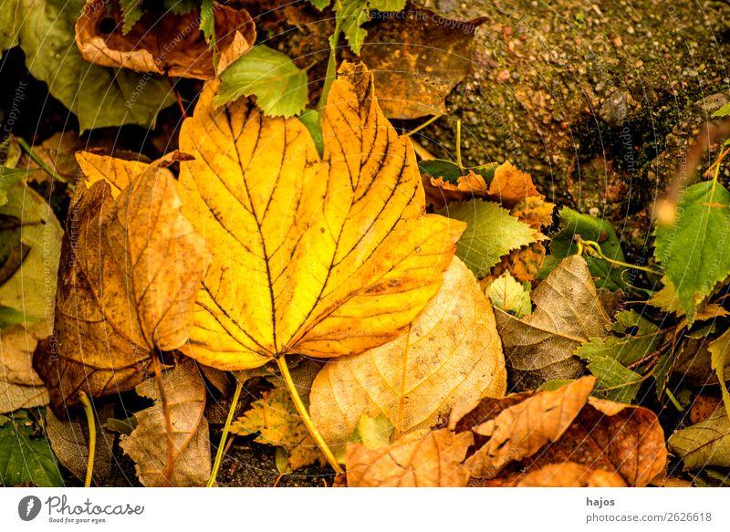 Ahornblatt in Herbstfarben Design Natur Baum weich gelb Blatt verfärbt gefallen Boden Laub Jahreszeit Farbfoto Außenaufnahme Tag