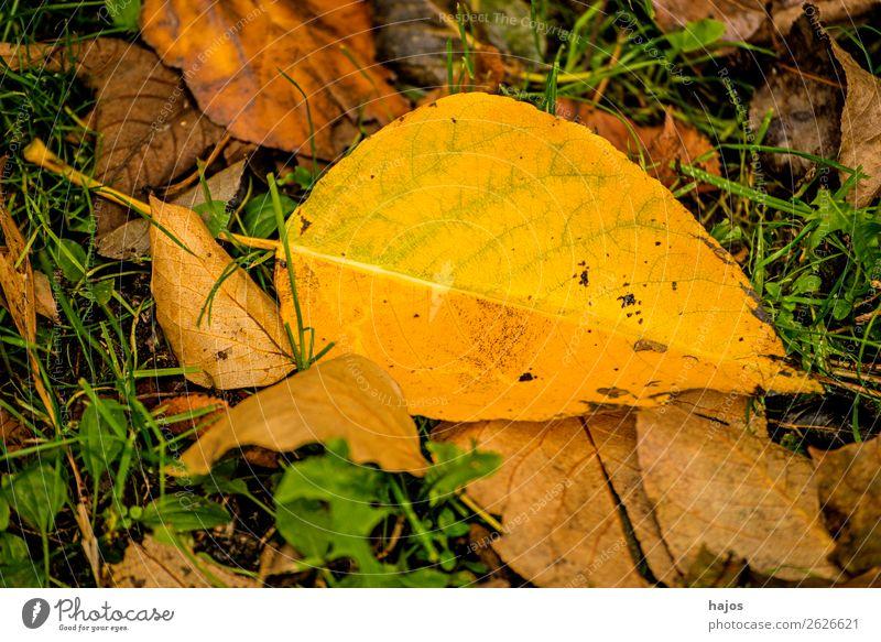 verfärbtes Lindenblatt Umwelt Natur Baum schön gelb Idylle Blatt herbstlich gefallen Herbst Jahreszeit Boden Herzlinde Farbfoto Außenaufnahme Menschenleer