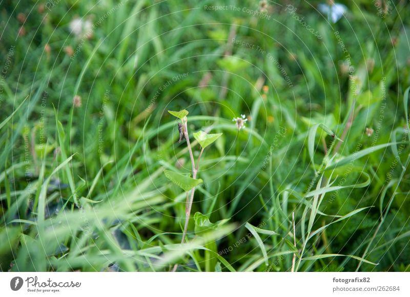 grasgrün Umwelt Natur Pflanze Tier Sommer Schönes Wetter Gras Sträucher Blatt Grünpflanze Garten Park Wiese Nutztier Käfer Bewegung fliegen Fressen Jagd