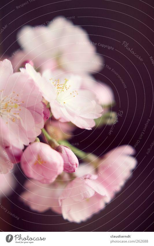 rosa Natur schön Baum Pflanze Blume Frühling Blüte ästhetisch zart Japan Blütenknospen Blütenblatt Kirschblüten Staubfäden Zierkirsche