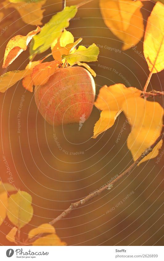 wie vergoldet Apfel Äpfel Apfelbaum Frucht Bio Bioprodukte Herbstfärbung Herbsttag Vegane Ernährung Gesunde Ernährung Gartenobst Natur Schönes Wetter