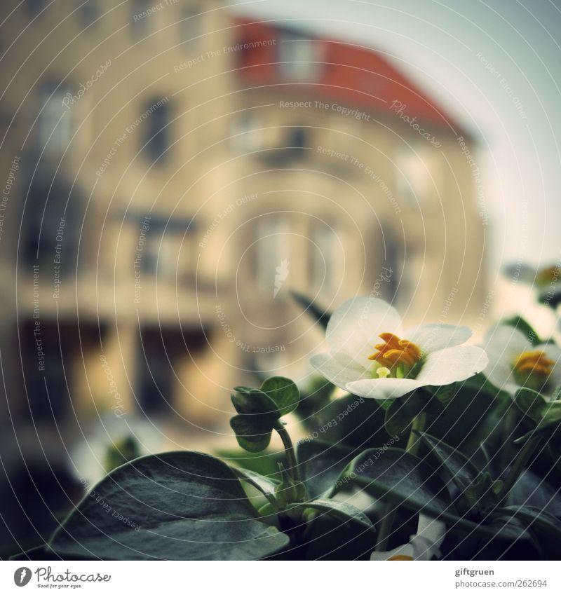 stadtkind Stadt Haus Bauwerk Gebäude Fassade Balkon Fenster Dach grün weiß Blume Blütenpflanze Pflanze Balkonpflanze Blütenblatt Nachbarhaus Gegenteil