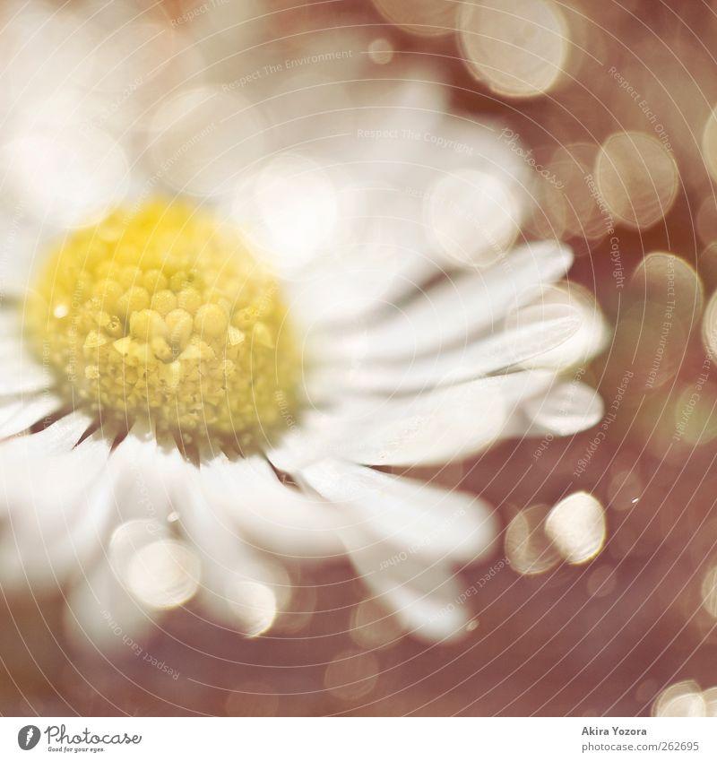 [111] Dreaming of Spring Natur weiß Pflanze Blume schwarz gelb Wiese Frühling Blüte glänzend natürlich frisch Wachstum Kitsch Blühend Gänseblümchen