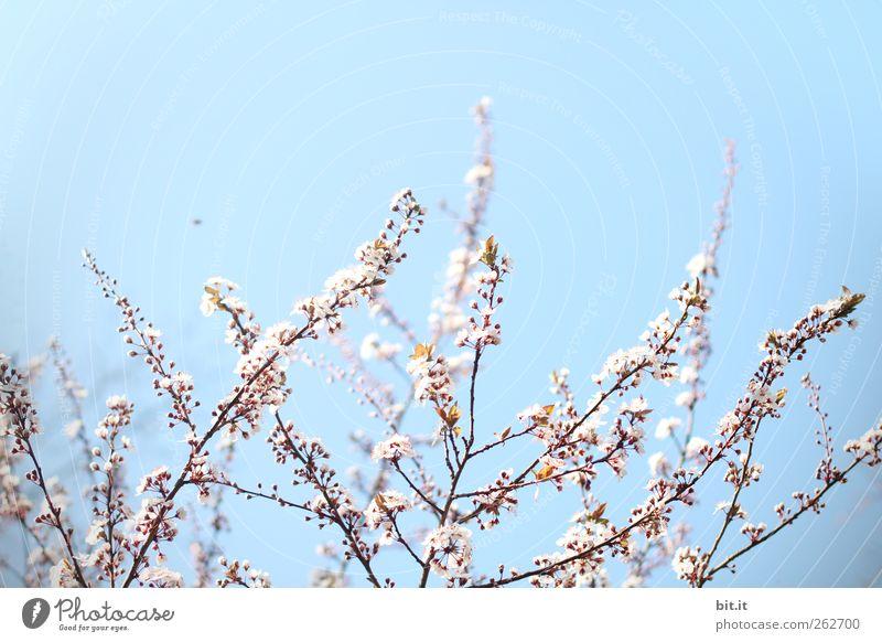 Summ, summ, summ, ... Himmel Natur Pflanze blau Erholung ruhig Freude Blüte Frühling Garten rosa Park Geburtstag Sträucher Beginn Blühend