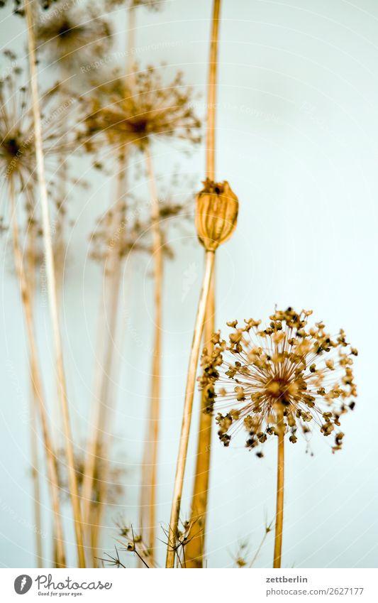 Getrocknete Blumen Blüte Doldenblüte Stroh Strohblume Dekoration & Verzierung Herbst Nebensaison Raum Innenarchitektur Wohnzimmer Ambiente Tiefenschärfe Spargel