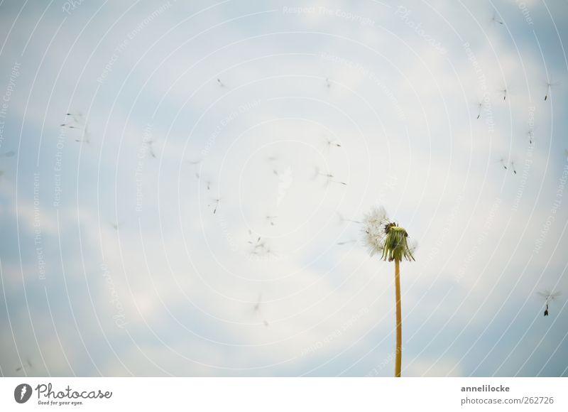 Klassiker Umwelt Natur Himmel Wolken Frühling Sommer Schönes Wetter Pflanze Blume Wildpflanze Löwenzahn Stengel Samen Blühend fliegen verblüht frei Trauer
