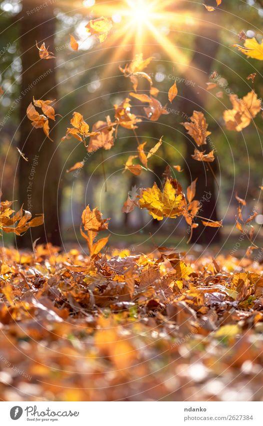 fallende trockene gelbe Ahornblätter in den Strahlen Sonne Garten Umwelt Natur Landschaft Pflanze Herbst Baum Blatt Grünpflanze Park Wald hell natürlich braun