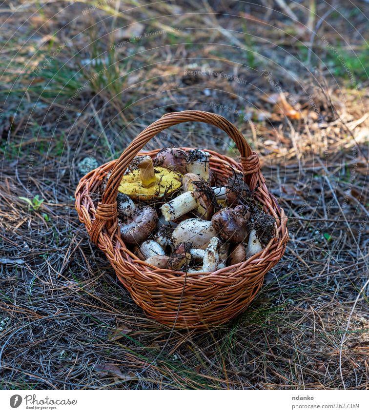 essbare Waldpilze in einem braunen Weidenkorb Gemüse Vegetarische Ernährung Natur Herbst Gras frisch natürlich wild gelb grün weiß Hintergrund Korb Lebensmittel