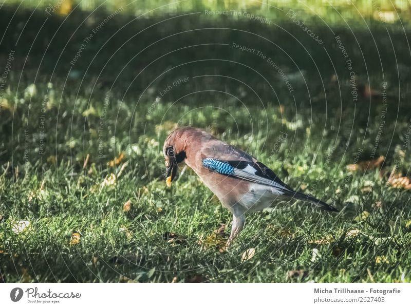 Eichelhäher mit Futter im Schnabel Natur blau grün Tier Essen gelb Umwelt Auge Wiese Gras orange Vogel leuchten Wildtier stehen genießen