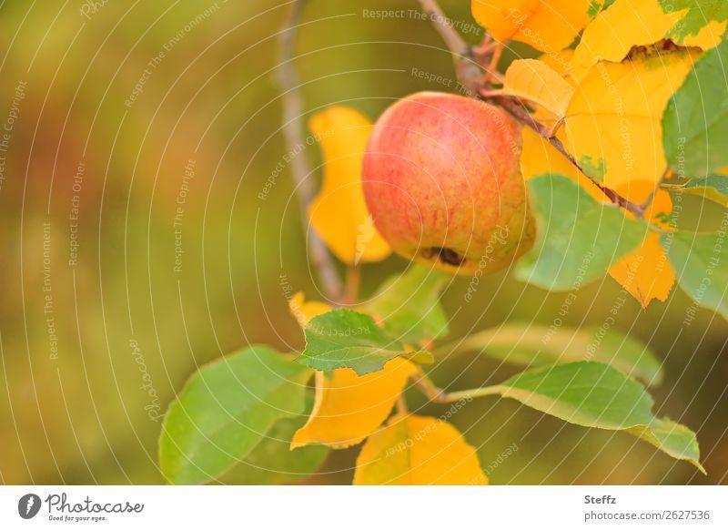 Apfel im Herbstgarten Bio Frucht Obstgarten Garten natürlich herbstlich Pastellfarben Äpfel Herbstfärbung Herbstgefühle Oktober Warme Farbe Apfelernte