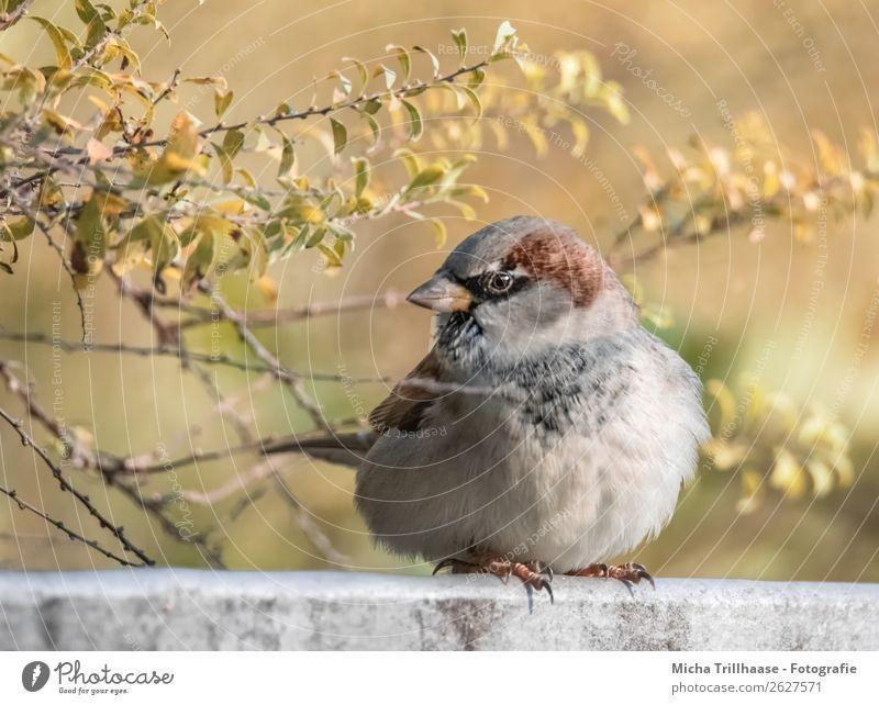 Dicker Spatz im Herbstlaub Natur grün Erholung Tier gelb natürlich orange Vogel braun Wildtier sitzen Feder Schönes Wetter Sträucher Flügel