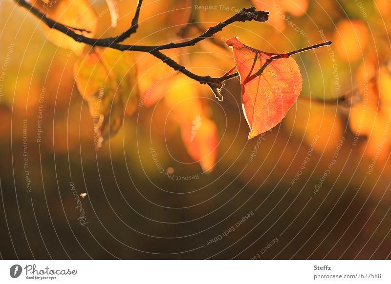 Vom Herbst und Licht Herbststimmung herbstliche Stimmung November Herbstgefühle Herbstfärbung Herbstwetter Apfelbaumblatt Herbstlaub Herbstgarten Herbstlicht
