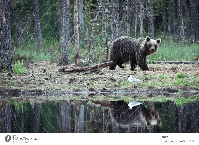 Teddybär Jagd Umwelt Natur Tier Wald Seeufer Teich Fell Wildtier Vogel 2 beobachten stark wild braun Kraft Bär Braunbär Wildnis Jäger Finnland Möwe gehen